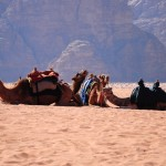camels UAE Clever Travel